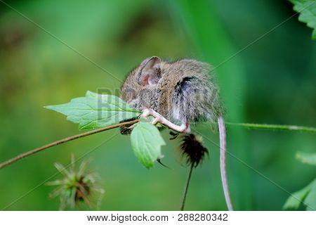 Eine Baby- Maus Schläft Auf Einem Halm