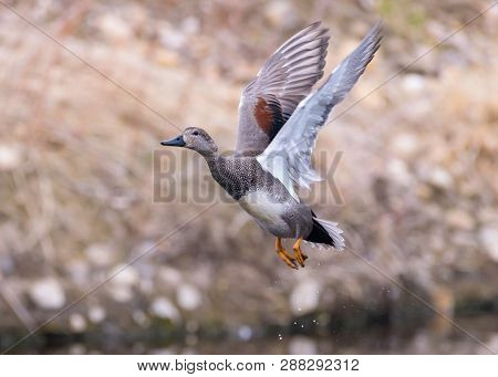 Gadwall Male Duck Lifting Off From A Creek On A Spring Morning.