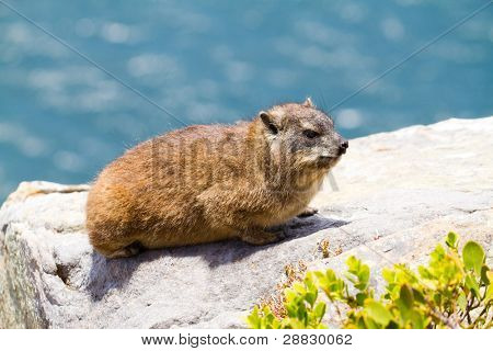 Capy Hyrax or Dassie on Table Mountain, Cape Town, South Africa