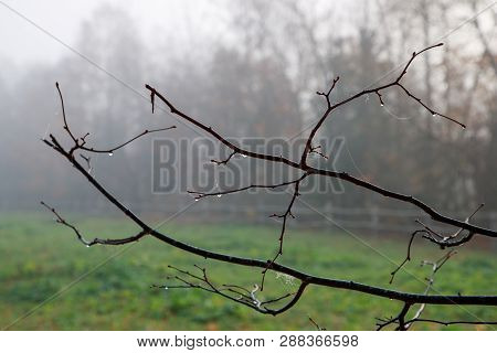 Frail And Thin Branches Of The Tree After The Rain Covered With Cobwebs In The Autumn