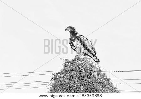 A Martial Eagle, Polemaetus Bellicosus, With Prey On Top Of A Communal Bird Nest, Built On Top A A T