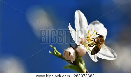 Spring Background. A Beautiful Blooming Tree In Spring With A Flying Bee. Symbols Of Springtime. Con