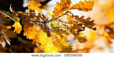 Golden Autumn Leaves Background. Oak Tree Branch With Colorful Yellow Orange Brown Leaves. Beautiful