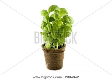 Fresh Basil Plant Isolated On White Background