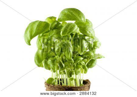 Close-Up Fresh Basil Plant Isolated On White Background