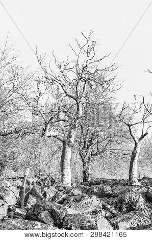 Moringa Trees, Moringa Ovalifolia, In Winter In Northern Namibia. Monochrome