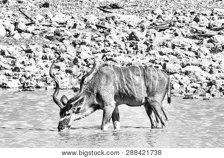 A Greater Kudu Bull, Tragelaphus Strepsiceros, Drinking Water In A Waterhole. Monochrome