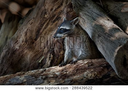 Raccoon - Procyon Lotor Also Common Raccoon, North American Raccoon, Northern Raccoon, Or Coon, Is A