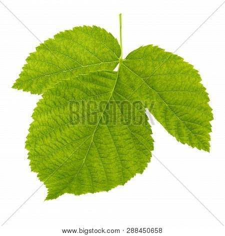 Green Raspberries Leaf Isolated On White Background