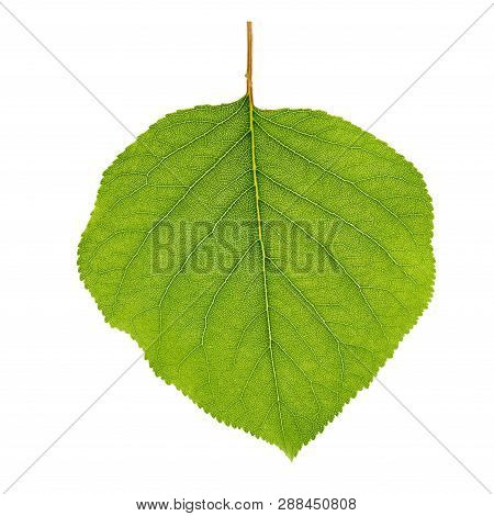 Green Apricot Leaf Isolated On White Background