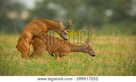 Roe Deer Buck And Doe Copulating During Rutting Season