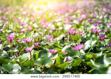 Purple  Water Lily Or Lotus With Green Leaf On Surface Of Water In Pond. Side View And Peace Concept