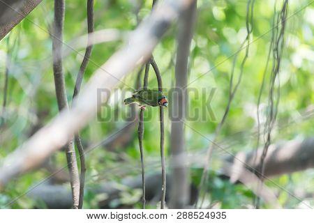 Bird (coppersmith Barbet, Crimson-breasted Barbet, Coppersmith, Megalaima Haemacephala) Yellow, Gree
