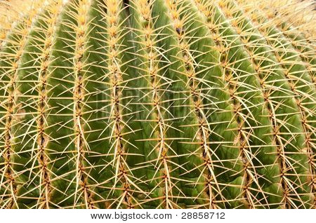 Close up of Golden Barrel Cactus