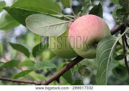 In The Photo Two Green Apple With A Pink. Fruit Close-up On A Branch With Green Leaves.a Ripe Apple.