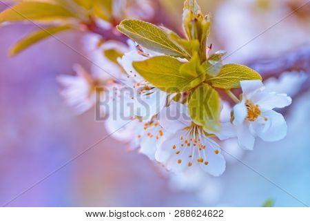 Prunus Cerasus, Sour Cherry, Tart , Or Dwarf, Morello, Amarelle, Montmorency Cherry White Delicate F