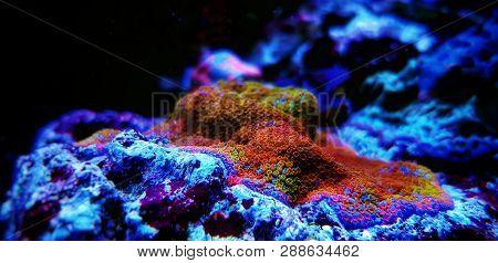 Montipora Sps Coral In Reef Aquarium Tank