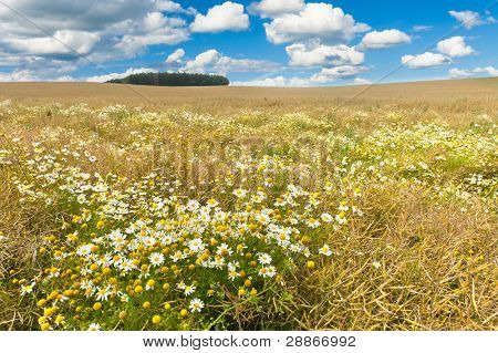 Field of ripe canola with blooming dasies and blue sky