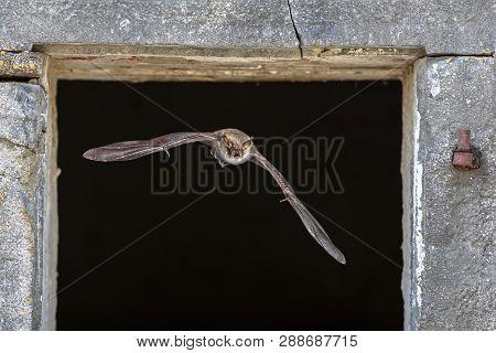 Natterer's bat (Myotis nattereri) flying through window from roost site inside barn poster