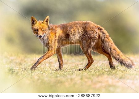 Red Fox (vulpes Vulpes) In Natural Vegetation. This Beautiful Wild Animal Of The Wilderness. Walking