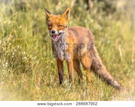 Red Fox (vulpes Vulpes) In Natural Vegetation. This Beautiful Wild Animal Of The Wilderness. Looking