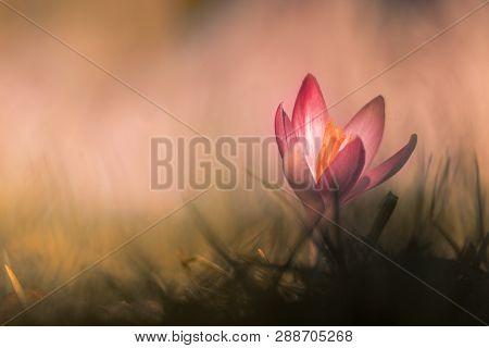 Close-up Of Beautiful Flowering Crocus Flowers In Spring. View Of Blooming Crocuses On A Meadow. Spr