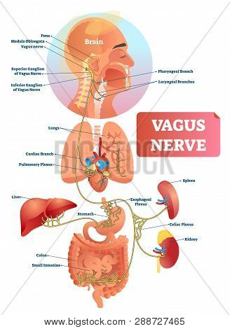 Vagus Nerve Vector Illustration. Labeled Anatomical Structure Scheme And Location Diagram Of Human B