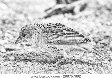 A Sociable Weaver, Philetairus Socius, On The Ground In Northern Namibia. Monochrome