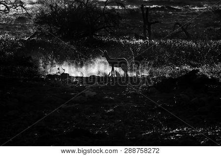 Two Springbok (antidorcas Marsupialis), Walking In The Last Rays Of The Setting Sun In Northern Nami