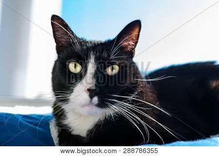 A black cat with a black and white snout, lying on a blue bed on a windowsill, a blue sky in the background. poster