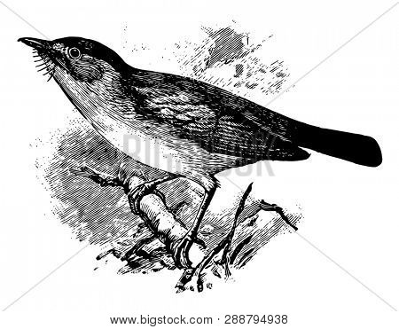 European Pied Flycatcher is a small passerine bird in the Muscicapidae family of Old World Flycatchers, vintage line drawing or engraving illustration.