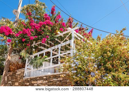 Flowering Trees In Apollonia, The Capital Of Sifnos. Cyclades, Greece