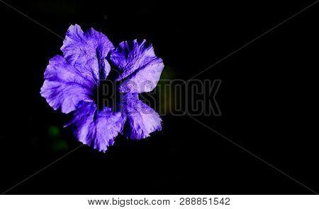 Purple Ruellia Tuberosa Flower Blossom On The Dark Black Background