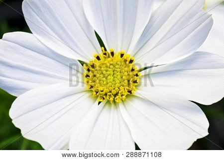 Macro View Of A White Cosmo Flower