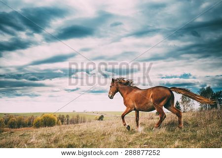 Red Horse In Motion On Green Grass In Spring Meadow Of Belarus.