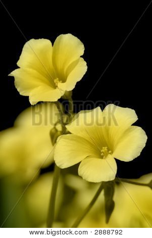 Wild Spring Clover In Bloom