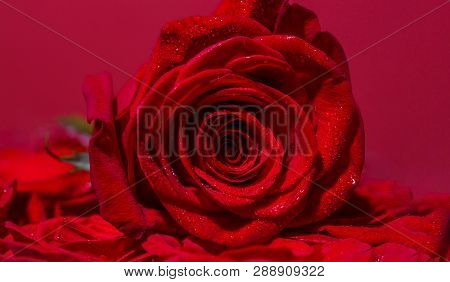 Bright Red Rose For Valentine Day. Roses In Flower Shop. A Red Rose Bloom. Rose Petals. Red Rose Flo