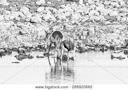 A Young Impala Ram (aepyceros Melampus) And A Young Springbok (antidorcas Marsupialis) In A Waterhol