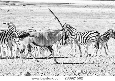 An Oryx, Oryx Gazella, Also Called A Gemsbok, Running Past Burchells Zebras In Northern Namibia. Mon