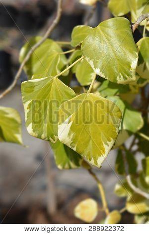 Ivy Dentata Variegata - Latin Name - Hedera Colchica Dentata Variegata (syn. Hedera Colchica Dentata