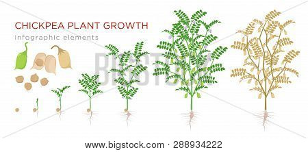 Chickpea Plant Growth Stages Infographic Elements. Growing Process Of Chickpeas From Seeds, Sprout T
