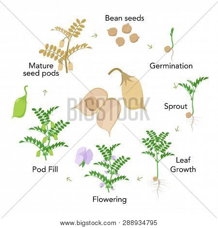 Chickpea Plant Growth Stages Infographic Elements In Flat Design. Planting Process Of Gram From Seed