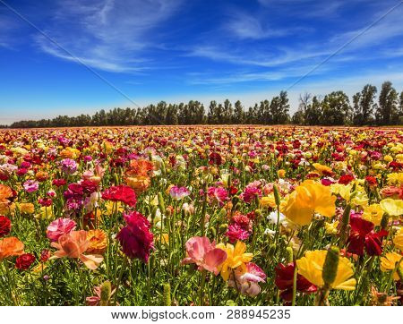 Sunny lovely day in the south of Israel. Picturesque kibbutz field of flowering garden buttercups. Cirrus thin clouds. The concept of active, ecological and photo tourism