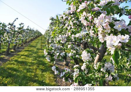 Apple garden blossom