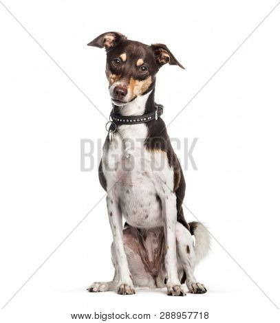 Mixed-breed dog, 2 years old, sitting in front of white background