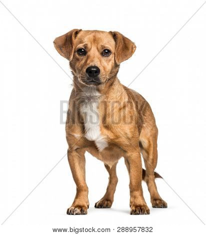 Mixed-breed dog, 1 year old, in front of white background