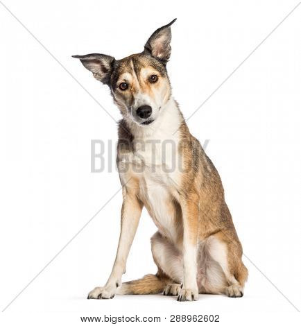 Mixed-breed dog, 8 years old, sitting in front of white background