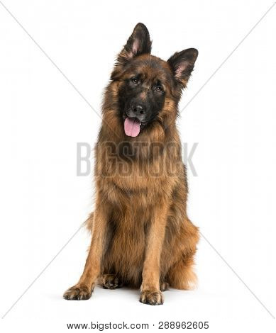 Old German Shepherd Dog sitting in front of white background