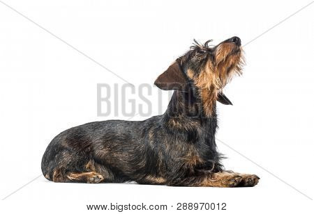 Dachshund, badger dog, sausage dog, wiener dog lying in front of white background
