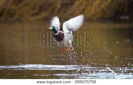 A Male Mallard Duck (anas Platyrhynchos) Takes Flight On The River Severn In Shrewsbury, Shropshire,